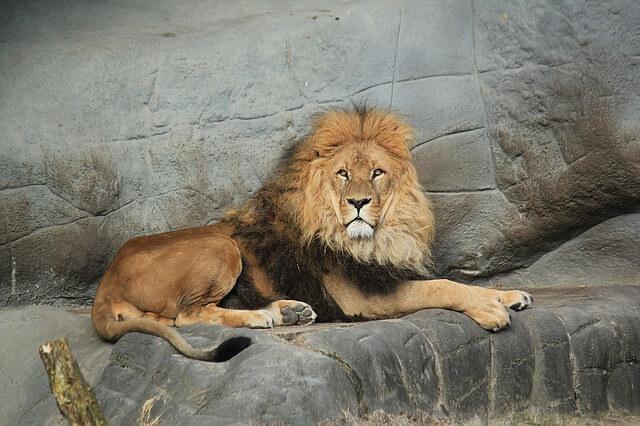 キングの象徴ライオン