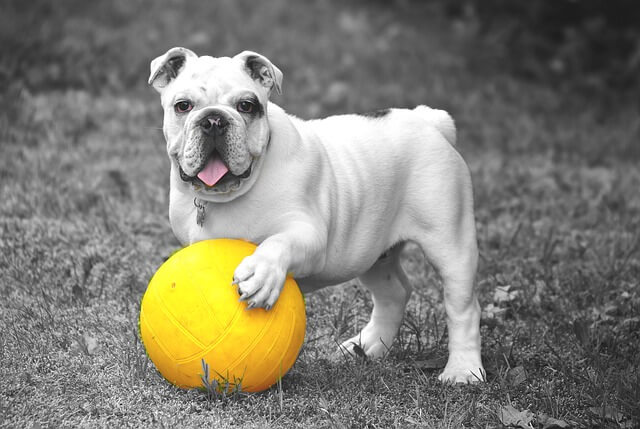 ボールで遊ぶブルドッグ
