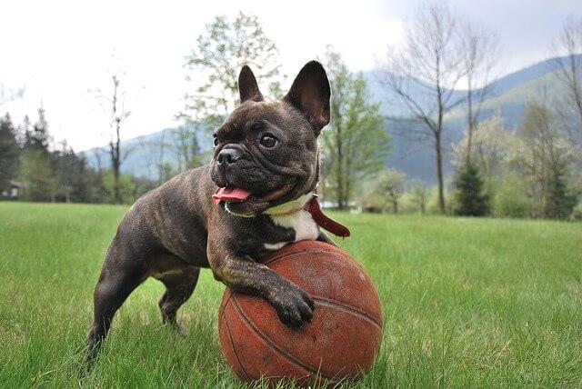 バスケットボールで遊ぶブルドッグ
